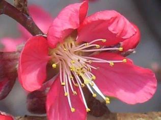 fiore-di-pesco-2.jpg