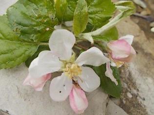 fiore-melo-6.jpg