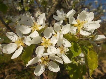 fiori-di-pero.jpg