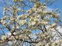 fioritura susino vertine 2020 (1)