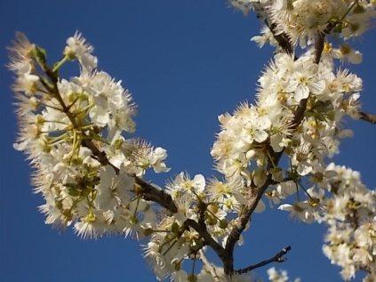 fioritura susino vertine 2020 (10)
