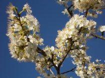 fioritura susino vertine 2020 (11)