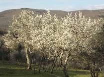 fioritura susino vertine 2020 (2)