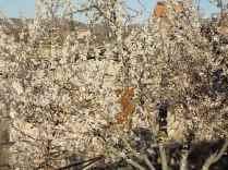 fioritura susino vertine 2020 (3)