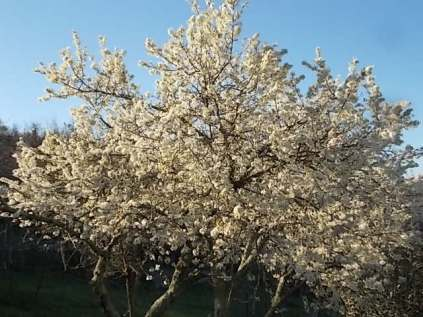 fioritura susino vertine 2020 (4)