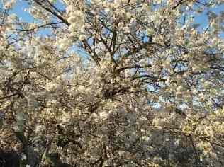 fioritura susino vertine 2020 (5)