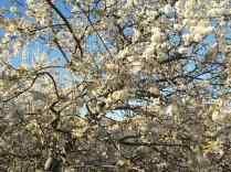fioritura susino vertine 2020 (6)