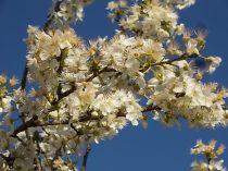 fioritura susino vertine 2020 (7)