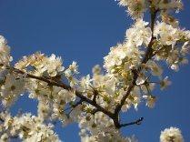 fioritura susino vertine 2020 (8)