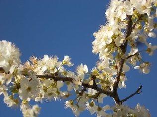 fioritura susino vertine 2020 (9)