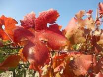 foglie-di-canaiolo-8