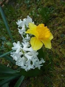 giacinto-bianco-e-narciso.jpg