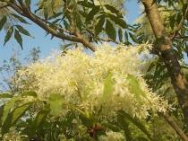 la-fioritura-dellorniello-1.jpg