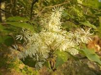 la-fioritura-dellorniello-10.jpg