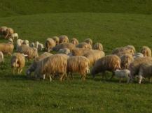 pecore-e-agnelli-3.jpg