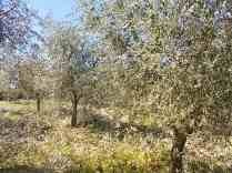 potare ulivi chianti vertine (2)