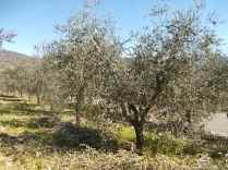 potare ulivi chianti vertine (3)