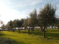 potare ulivi chianti vertine (6)