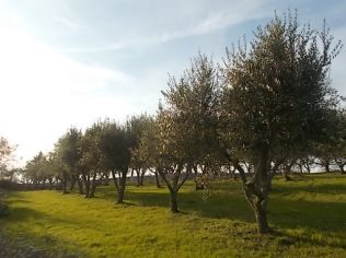potare ulivi chianti vertine (7)