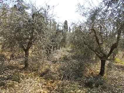 potare ulivi chianti vertine (8)
