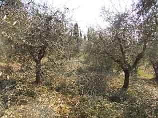 potare ulivi chianti vertine (9)
