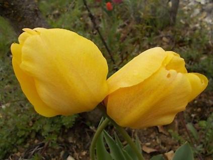 tulipano-giallo-2.jpg