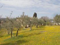 vertine campo fiori gialli (1)