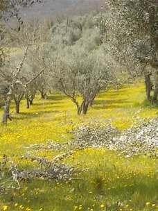 vertine campo fiori gialli (10)