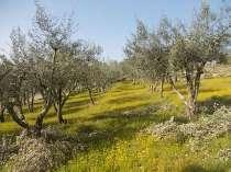 vertine campo fiori gialli (11)