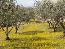 vertine campo fiori gialli (13)