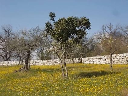 vertine campo fiori gialli (14)