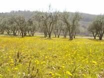 vertine campo fiori gialli (17)