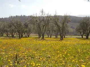 vertine campo fiori gialli (18)