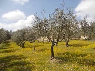vertine campo fiori gialli (19)