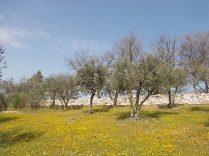 vertine campo fiori gialli (2)