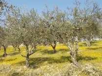 vertine campo fiori gialli (22)