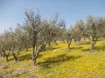 vertine campo fiori gialli (23)