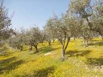 vertine campo fiori gialli (24)