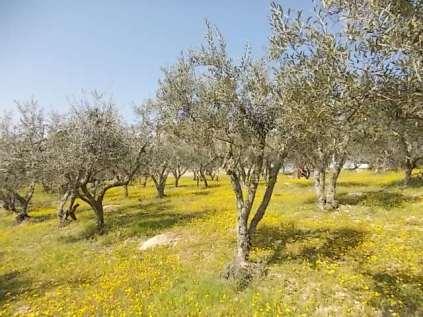vertine campo fiori gialli (25)