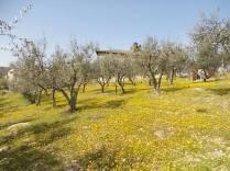 vertine campo fiori gialli (28)