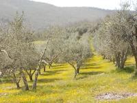vertine campo fiori gialli (5)