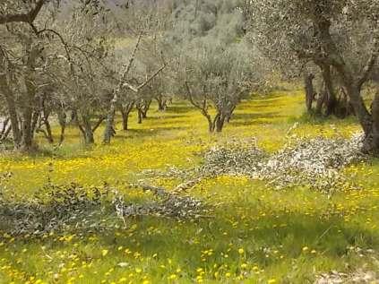 vertine campo fiori gialli (8)