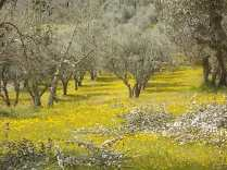 vertine campo fiori gialli (9)