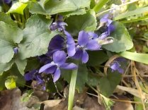viole (1)
