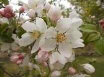 fiore di melo (1)