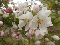 fiore di melo (2)