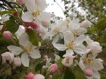 fiore di melo (3)