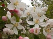 fiore di melo (4)