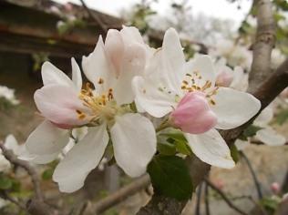 fiore di melo (5)