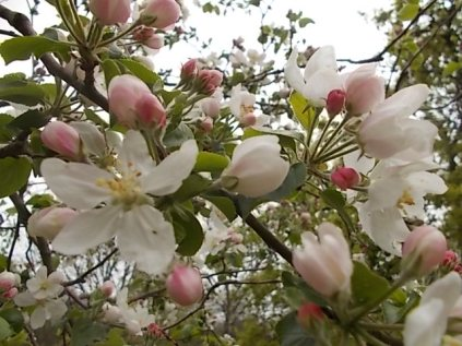 fiore di melo (6)
